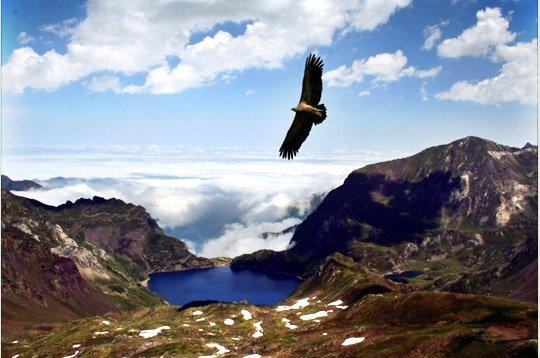 vautourpyrnes2.jpg