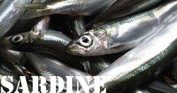 sardine01.jpg